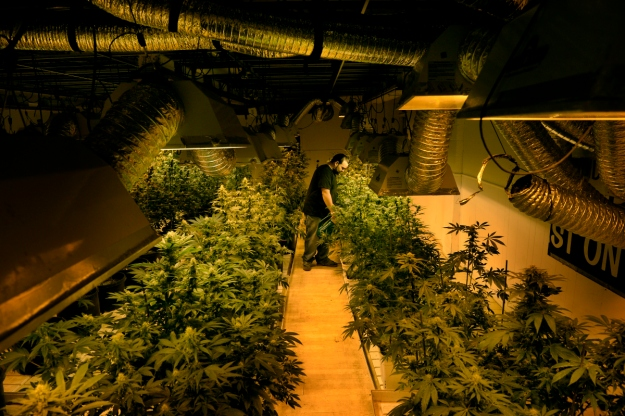 Grower Joe Rey feeds marijuana plants a combination of nutrients and molasses in a flower room at 3-D Denver Discreet Dispensary in Denver, CO December 04, 2013. (Photo By Craig F. Walker / The Denver Post)
